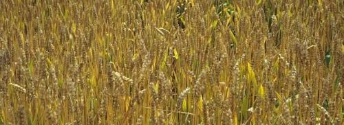 illustration BreedWheat permet de développer de nouvelles variétés de blé pour une agriculture durable © INRAE -Jean-Marie Bossennec