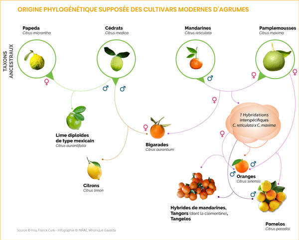 2-origine-phylogén-supposée-cultivars-modernes-agrumes-v4