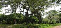 AgroBRC-RARe CRB Plantes Pérennes en Guyane ©Florilège