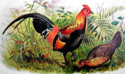 Red Junglefowl, Hume and Marshall, Game Birds of India, Burmah and Ceylon (1879–1881) Public